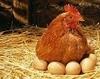 Gainusa cu oua de aur
